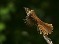 Brown Thrasher Launch