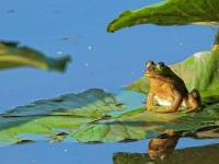 Bull Frog On Lilly Pad