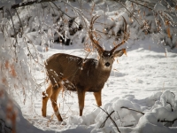 Mule Deer In The Snow