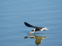 Black Skimmer And Reflection