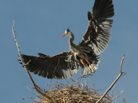 Great Blue Heron Coming To Nest