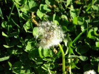 White Dandelion (in Green Background)