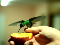 Late Night Visit Of A Colibri