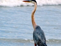 Friendly Blue Heron