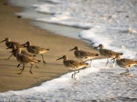 Willets At Torrey Pines Beach