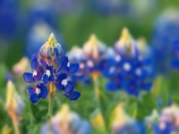 Bluebonnet Isolated