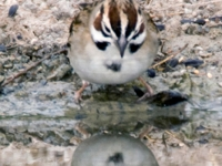 Lark Sparrow And Reflection