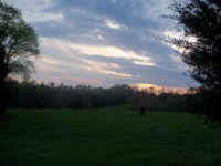 Cattle Pasturing At Sunset
