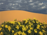Long-leaf Sunflowers At Pink Coral Sand Dunes State Park