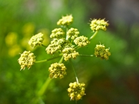 Desert Parsley
