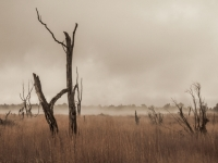 Dead Trees In The Mist