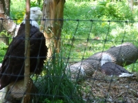 American Bald Eagles In Captivity
