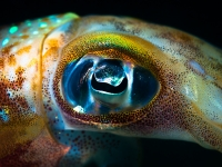 Sepioteuthis Lessoniana - Big Fin Reef Squid Eye