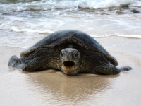 Hissing Green Sea Turtle