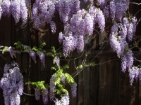 Wisteria Drapes A Dallas Fence