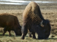 Buffalo Country