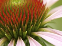 Coneflower, Close-up Adn Personal