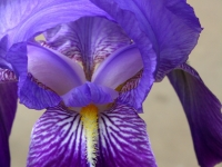 Spring Iris-bee`s Point-of-view