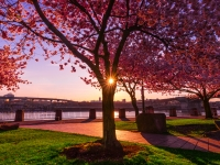 Cherry Blossoms On The Willamette