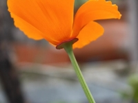 Lone California Poppy