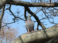 Pigeon In Tree