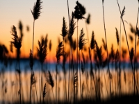 Reeds At Sunset, By Brian Taylor