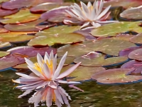 Lily Reflection