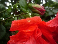 Hibiscus After Rain7