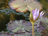Purple Lilypad