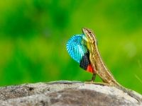 Fan Throated Lizard
