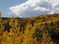 Aspens Near Cripple Creek, Colorado