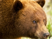Blue-eyed Black Bear