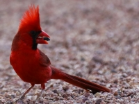Arizona Red Cardinal