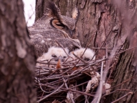 Great Horned Owel & Owlets
