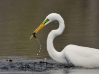 Great Egret Catches Lunch
