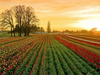 Dusk At The Wooden Shoe Tulip Fields