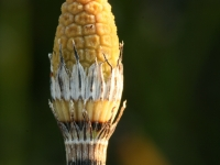 Rough Horsetail