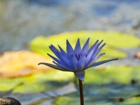 Light Blue Water Lily