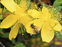 A Bee On A St. John's Wort