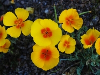 Mexican Poppies, Saguaro National Park