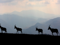 Blesboks Silhouetted Against Malolotja Mountains