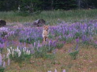 Early Morning Coyote