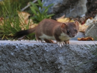 Ermie The Short-Tailed Weasel Sports His Summer Coat