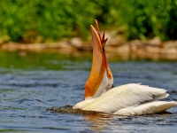 American Pelican With Fish