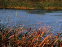 Cattails In The Last Light Of Day