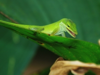 Green Anole Looking For Lunch