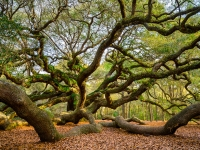 Roots And Wings Charleston Sc Angel Oak Tree South Carolina Landscape