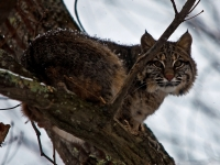 Bobcat Climbed Tree