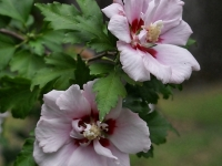 Pair Of Rose Of Sharon