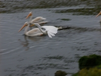 Egret And White Pelican